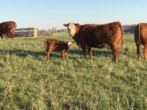 Cows & Heifers For Sale